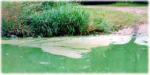 Algae on downwind lake shore (MPCA photo)