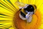 Bee Pollenator
