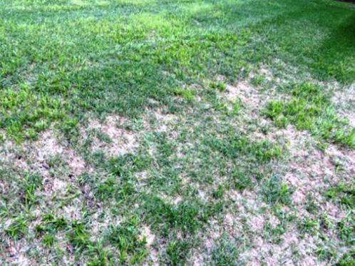 Too much watering caused the Kentucky Blue Grass to be replace by Yellow Nutsedge (weed) that loves soggy soil.